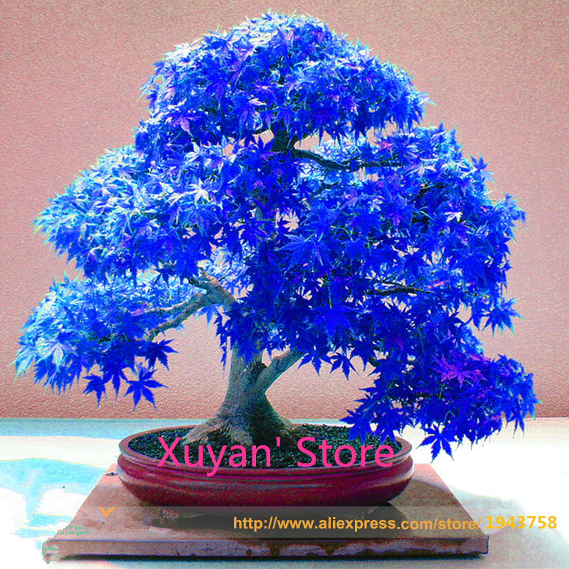 50 Seeds Real Japanese Ghost Blue Maple Seeds Rare Balcony Bonsai Tree plants,for home garden planting