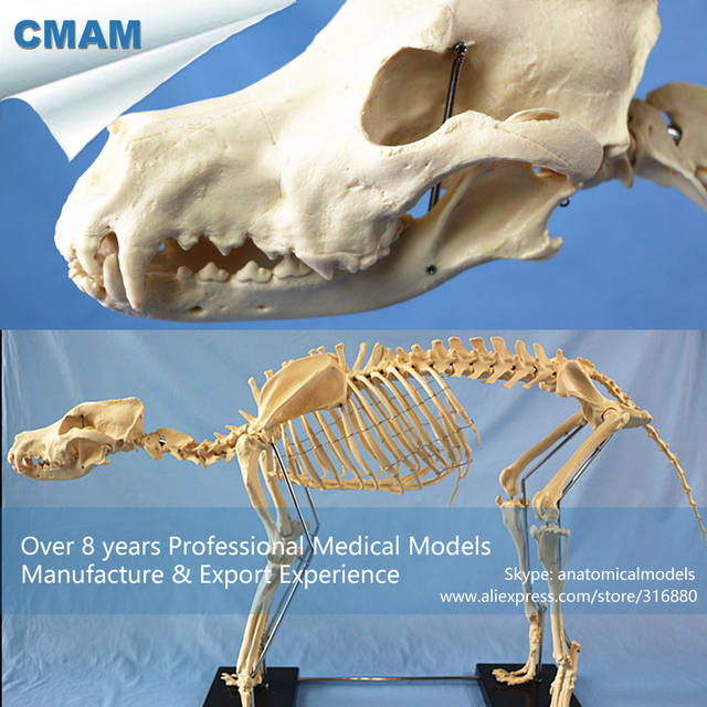 CMAM A13 Anatomical Large Dog Skeleton / Canine Skeleton Model ...