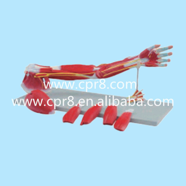 BIX-A1033 Upper Limbs Anatomical Model, Muscle Anatomy Model, Upper Limbs Model WBW438 gastric anatomy model bix a1045 g149