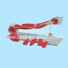 BIX-A1033 Upper Limbs Anatomical Model, Muscle Anatomy Model, Upper Limbs Model WBW438