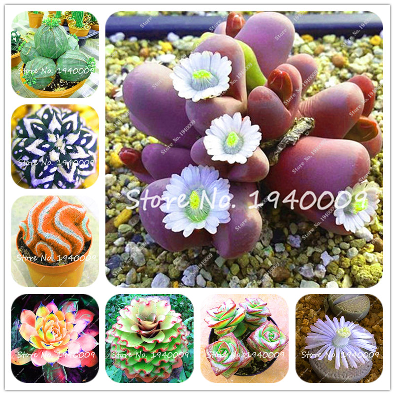 Hot Sale! 100 Pcs African Cactus Bonsai Indoor Lithops Plant Tree Purify Air Bonsai In The Heat Resistant Cactus And Succulents