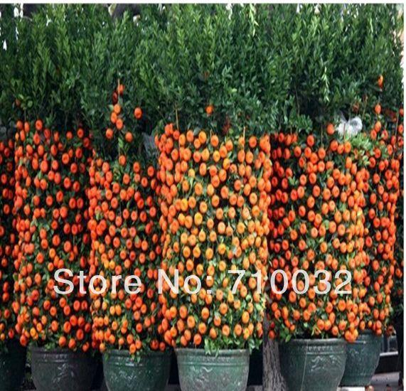 20 Pieces Bag Top Selling High Quality Bonsai Sweet Orange Tree Seeds Organic Fruit Tree Seeds