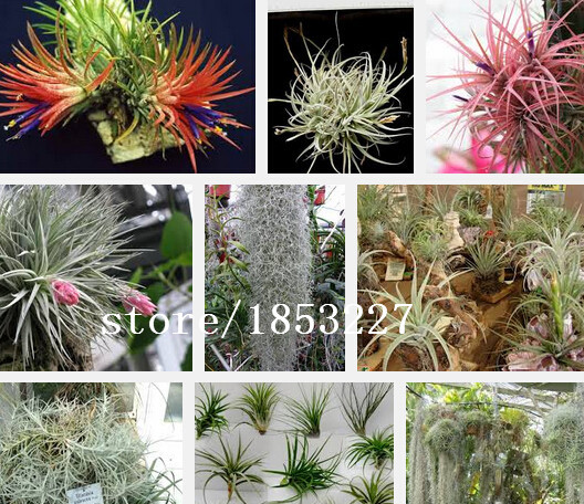 Flowers Tillandsia Tillandsia seeds Flowers seeds about 100 particles