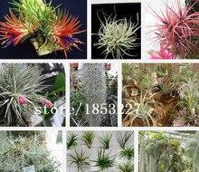 Цветы Tillandsia, Tillandsia семян, семена цветы, около 100 частиц