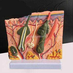 Image 4 - Ludzka skóra i struktura włosów powiększ Model struktura warstwy skóry Model struktura skóry anatomia kosmetyczne pomoce szkoleniowe