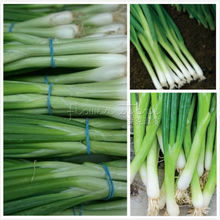400 Evergreen Bunching Onion Seeds ~vegetable