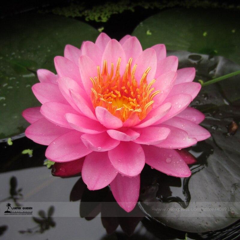 achetez en gros rose fleur de lotus en ligne des grossistes rose fleur de lotus chinois. Black Bedroom Furniture Sets. Home Design Ideas