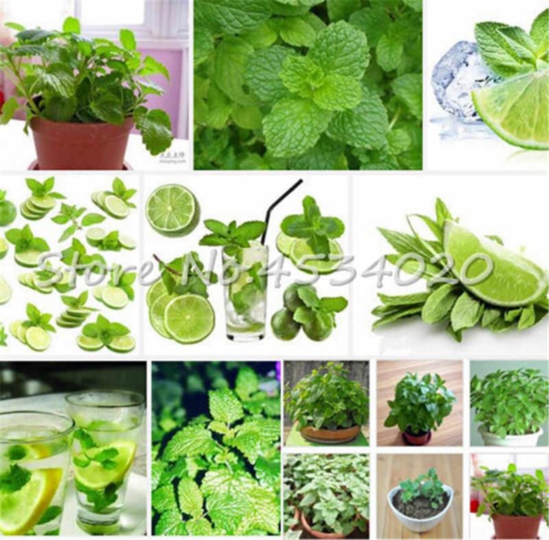 100 pcs Raros sementes Vegetais Planta Bonsai Hortelã Hortelã Hortelã Hortelã Campo Catnip Semillas de Adorno de Flores Jardim de Casa