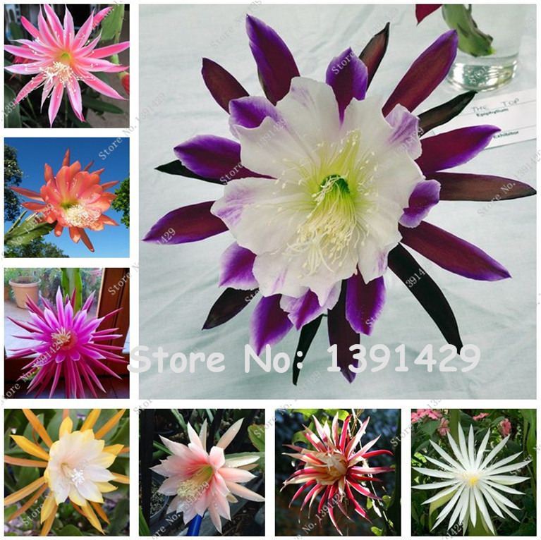 200 pcs mexican hybrid epiphyllum flower seeds rare orchid for Decoration jardin cactus