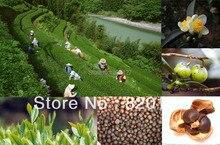 2016 Осень Новый Урожай, 30 шт. Китайский Зеленый Чай Дерево КАМЕЛИЯ SINENSIS СЕМЕНА