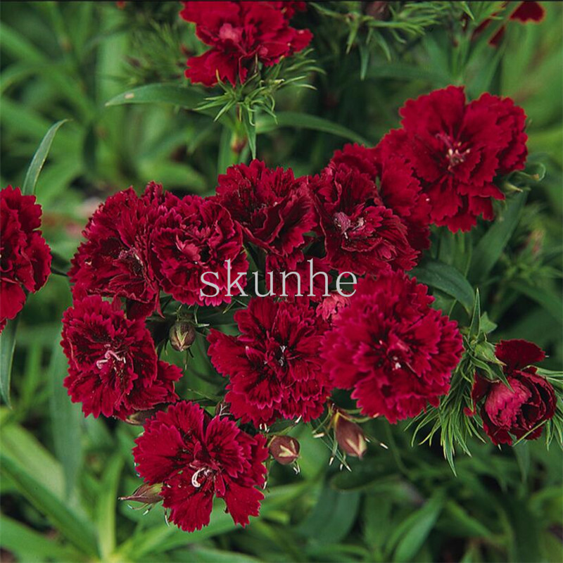 Pan American Double-flowered Dianthus Flower Bonsai Dynasty Series 5 Pills Autumn Sowing Spring Carnations 100pcs(shi Zhu)