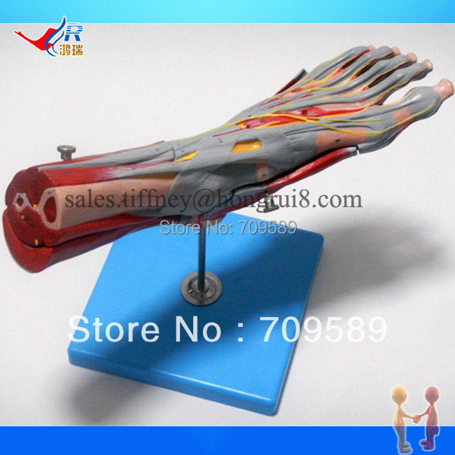 ISO Deluxe Muscles of Foot with Main Vessels & Nerves, Anatomical Foot model economic half head with vessels model anatomical head model with brain nerves vascular muscles and vessels