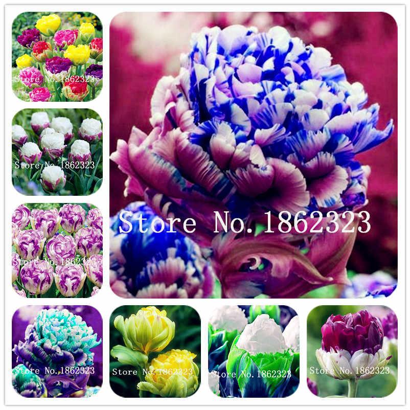 50 pcs Rara Tulipa Dobro Bela Flor Tulipa Jardim Planta Flor Para Jardim Plantas 24 Cores Disponíveis Simboliza O Amor