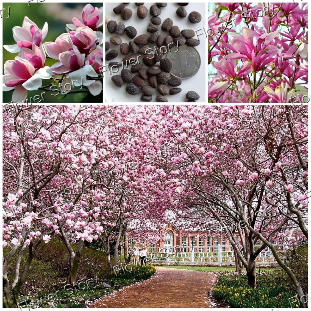 Magnolia Liliiflora Shrub 20 Seeds Mulan Tulip Lily Magnolia Mixed