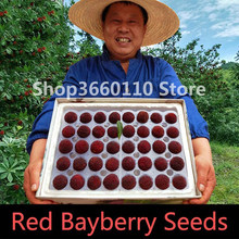 Arbutus Fruit Myrica Rubra Bonsai Red Bayberry Perennial Flower Garden Sweet Fruit Tree Plant Germination Rate of 95%(China)