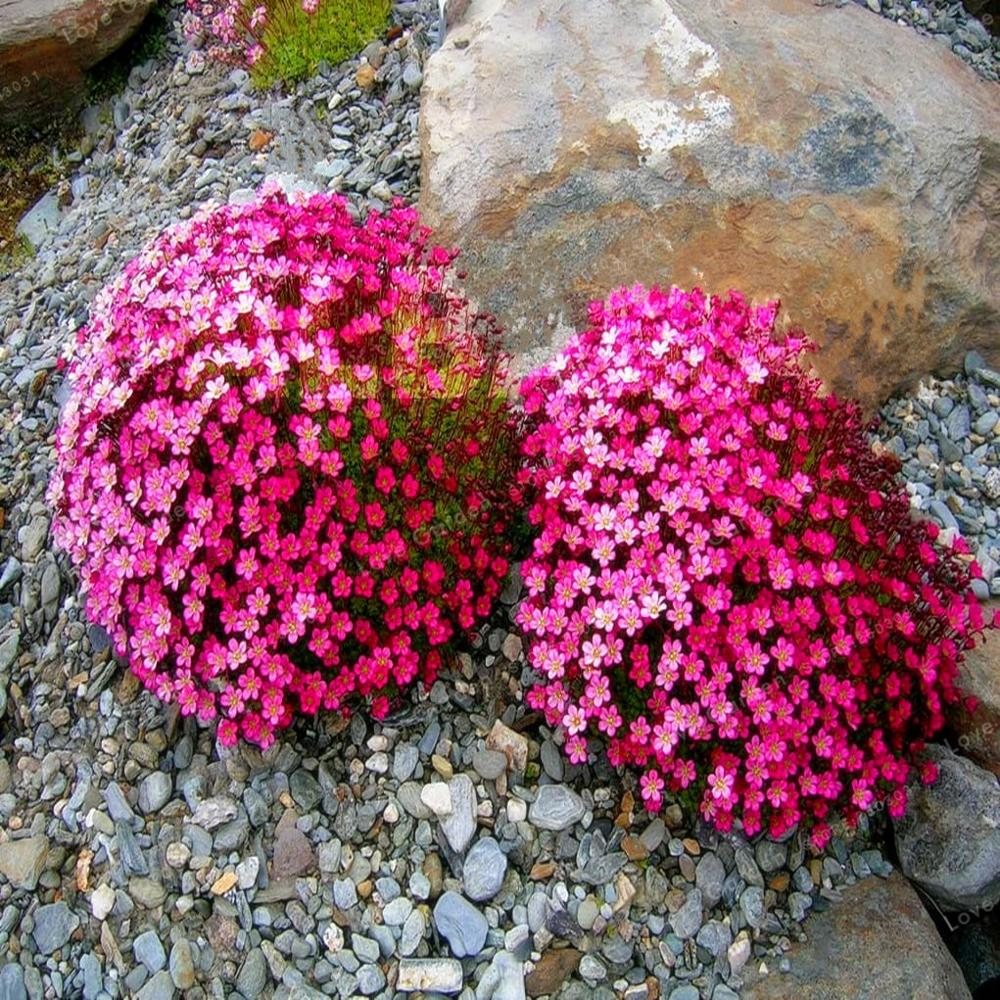 100 Pcs Aubrieta Cultorum Seeds Rare Purple Ground Cover Rock Cress