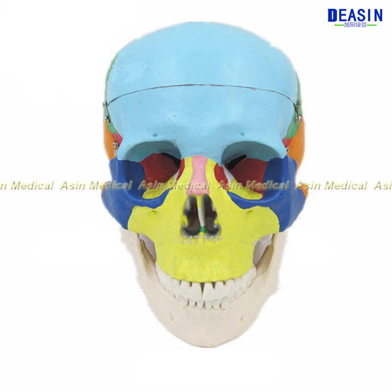 Deasin new  Dental Periodontal Disease Model / Tooth Medical Model  dentist learning model dh202 2 dentist education oral dental ortho metal and ceramic model china medical anatomical model