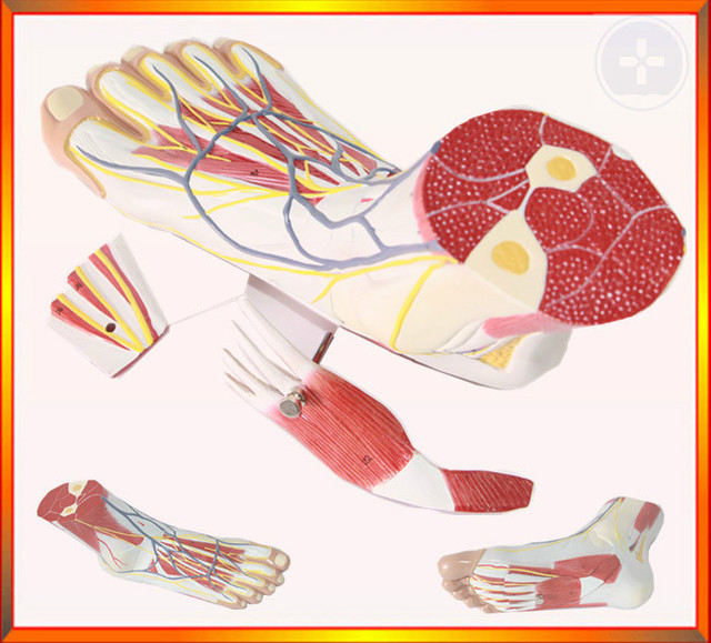 Free Ship&1:1 Natural Size Foot Anatomy Model,ankle Muscle Nerve ...