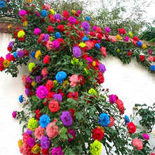 100PCS/BAG climbing rose plants indoor and outdoor flower family garden decoration potted