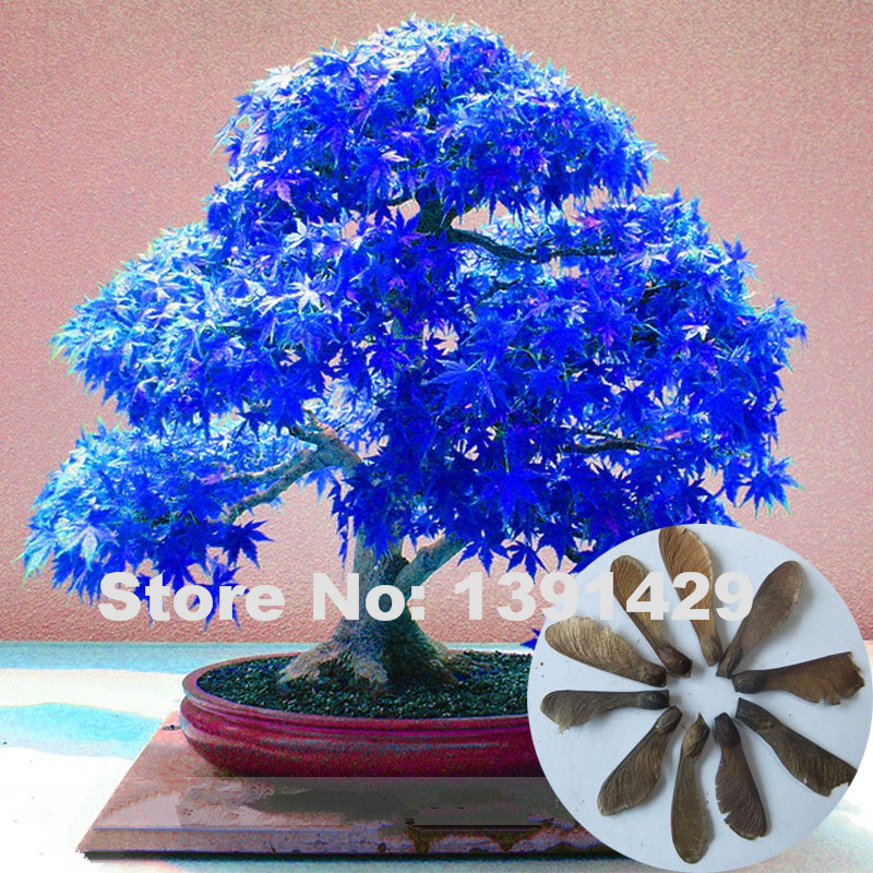 100% Real 20pcs Purple blue Ghost Japanese Maple Tree Seeds, (Acer Palatum), bonsai flower seeds, potted plant for home & garden