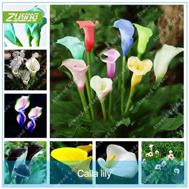 ZLKING 1 قطع كالا زنبق لمبة بوعاء شرفة مصنع كالا زهرة لمبة عالية الإنبات معدل مختلطة الملونة كالا زنبق النبات بونساي
