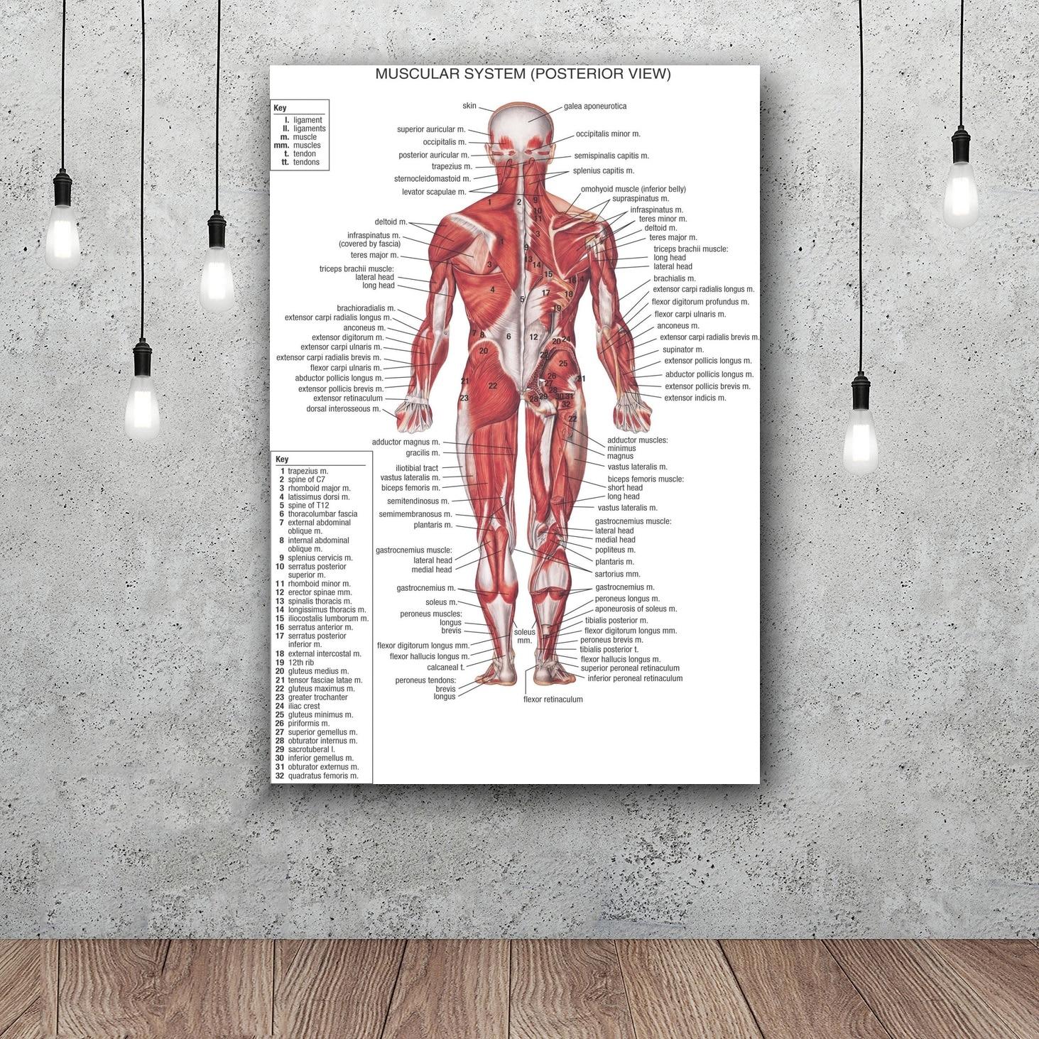 Human Body Anatomical Chart Muscular Art Silk Fabric Poster Print