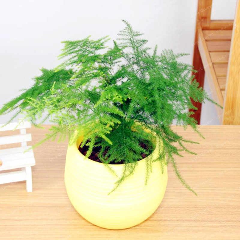 Цветок аспарагус комнатный: виды и фото, уход в домашних условиях