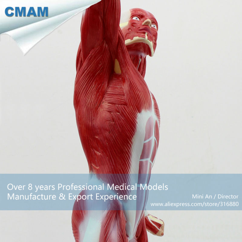 Cmam12028 Muscle 55cm Full Body Red Plastic Human Body Muscle