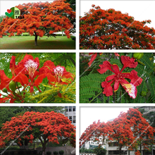 Delonix regia seeds,Outdoor bonsai tree seeds.Flame of forest red flowers, ornamental trees safflower 10pcs/bag