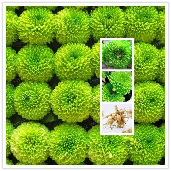 True Green Dahlia Bulbs Flower,(Not Dahlia Seeds),Bonsai Flower Bulbs,Symbolizes Courage And Lucky,Home Garden Plant-2 Bulbs