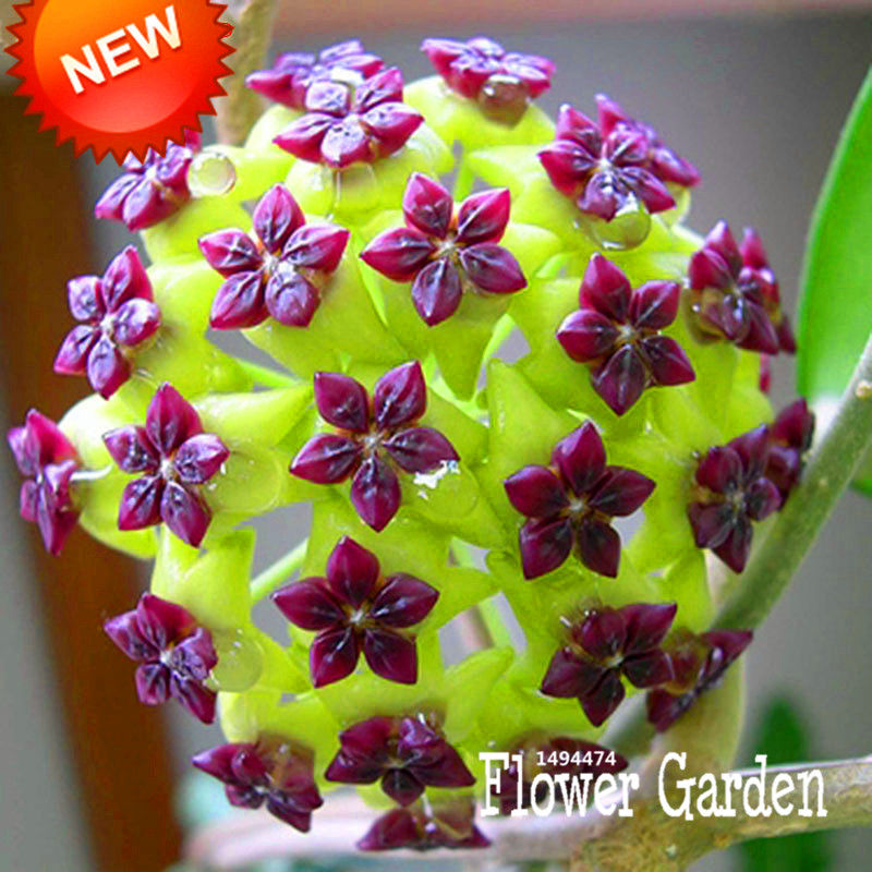 Big Sale!Hoya Seeds,Potted Flowers Bonsai plants Hoya Seed, Orchid Seed DIY Home Garden 100 Particles/Pack,#4FNNI6