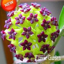 Big sale hoya seeds potted flowers bonsai plants hoya seed orchid seed diy home garden 100.jpg 250x250