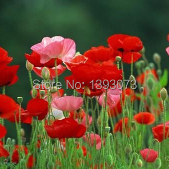 Free shipping 200 pcsdifferent color poppy flower seeds iceland free shipping 200 pcsdifferent color poppy flower seeds iceland poppy seed for home garden in bonsai from home garden on aliexpress alibaba group mightylinksfo