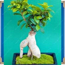 Ficus Ginseng 30 pcs seeds ginseng root Sementes Bonsai rare Chinese Kung Fu bonsai tree plant seeds