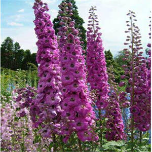 Plant Bonsai Delphinium Garden-Flowers Giant 100pcs Sement Cultorum Mix