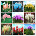 400pcs/bag pampas garss,pampas seeds,pampas grass plant,Ornamental Plant Flowers Cortaderia Selloana Grass Seeds for home garden