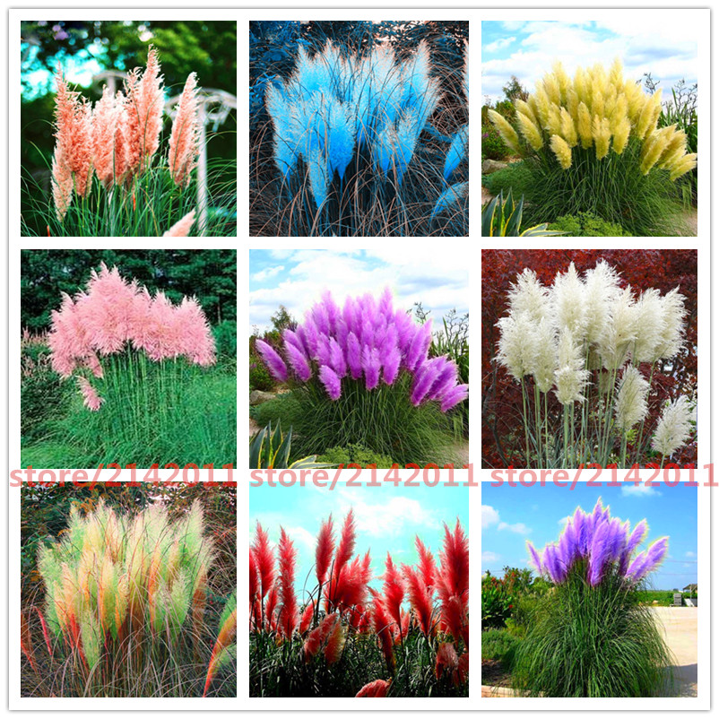 400pcs font b bag b font pampas garss pampas seeds pampas grass plant Ornamental Plant Flowers