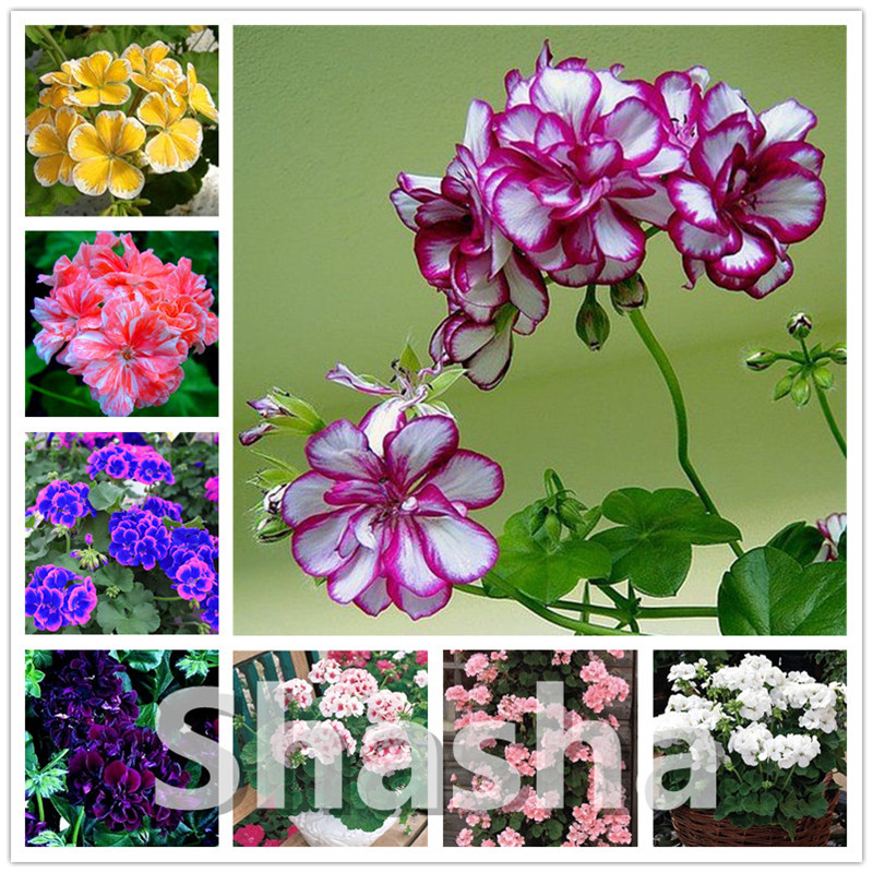 200 Pcs Hanging Geranium Bonsai Rare Variegated Geranium Plant Potted Perennial Garden Flower For Bonsai Plant For Home Garden