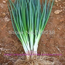 onion seeds four seasons small chives 200 seeds Vegetable seeds
