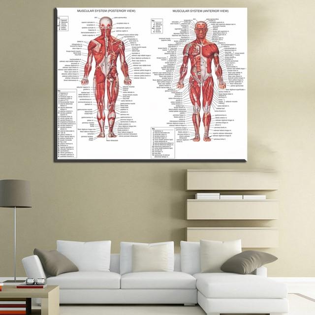 Xdr608 Menschlichen Körper Anatomischen Diagramm Muskel System ...