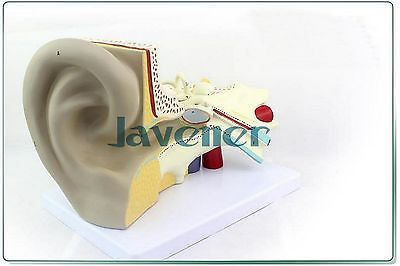Magnify Human Anatomical Ear Anatomy Medical Model Auditory System Organ
