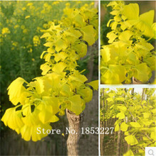 20Pcs Ginkgo Biloba Maidenhair Tree Seeds