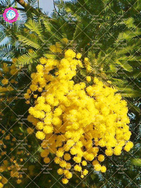 Detail Feedback Questions About 50pcs Bonsai Golden Mimosa Plant
