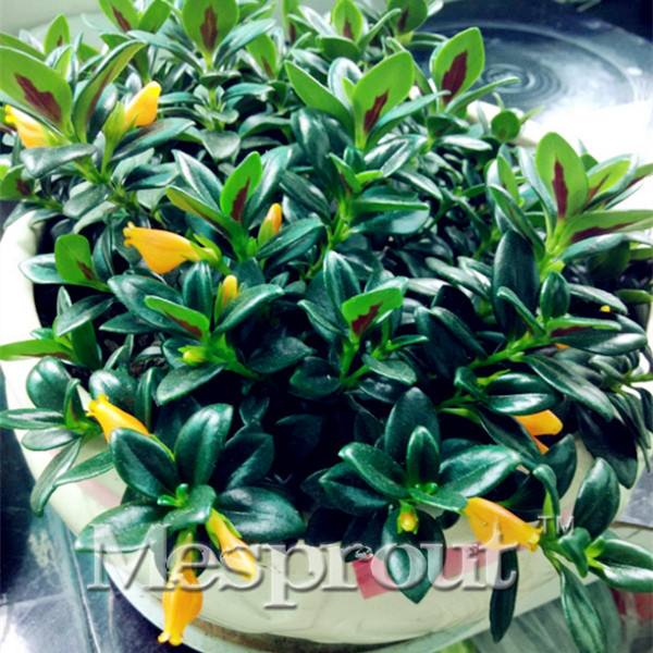 50PCS Goldfish Chlorophytum Saplings Bonsai Orchid Seeds Fleur de ...