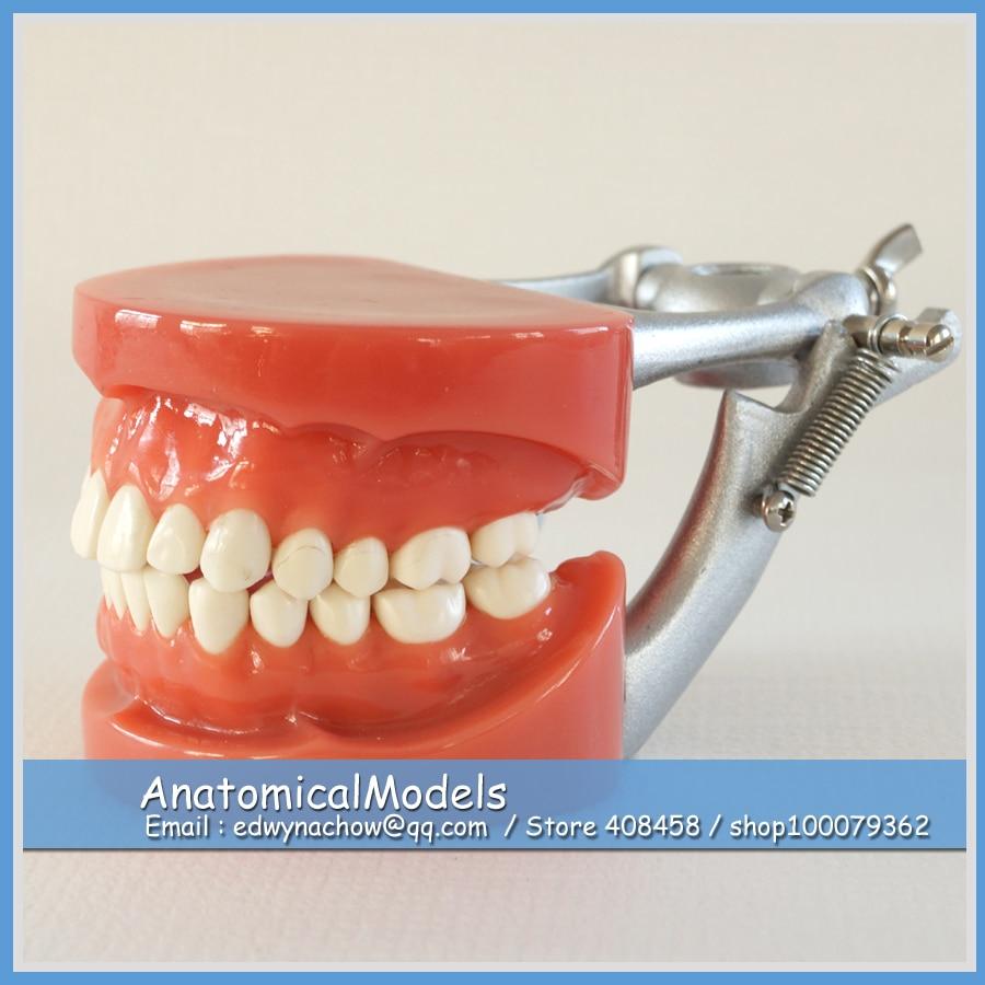 13007 DH106 Hard Gum 28pcs Teeth Standard Jaw Model, Medical Science Educational Dental Teaching Models 2016 dental soft gum practice teeth model for students with removable teeth