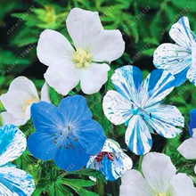 100 pcs/bag blue geranium seed, Novel bonsai flower seeds perennial pelargonium Peltatum plant pot for home garden