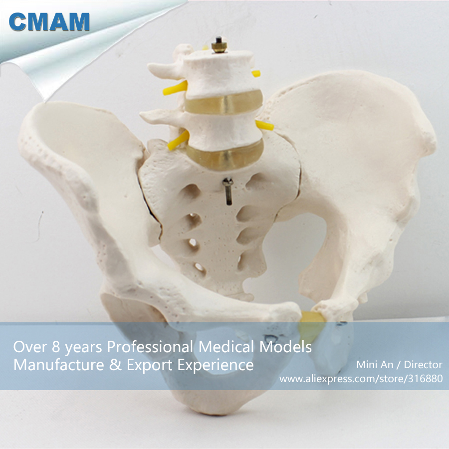 CMAM-PELVIS04 Anatomical Human Pelvis Model with Lumbar Vertebrae ,  Medical Science Educational Teaching Anatomical Models cmam anatomy07 reproduction model of intrauterine contraceptive guidance medical science educational teaching anatomical models