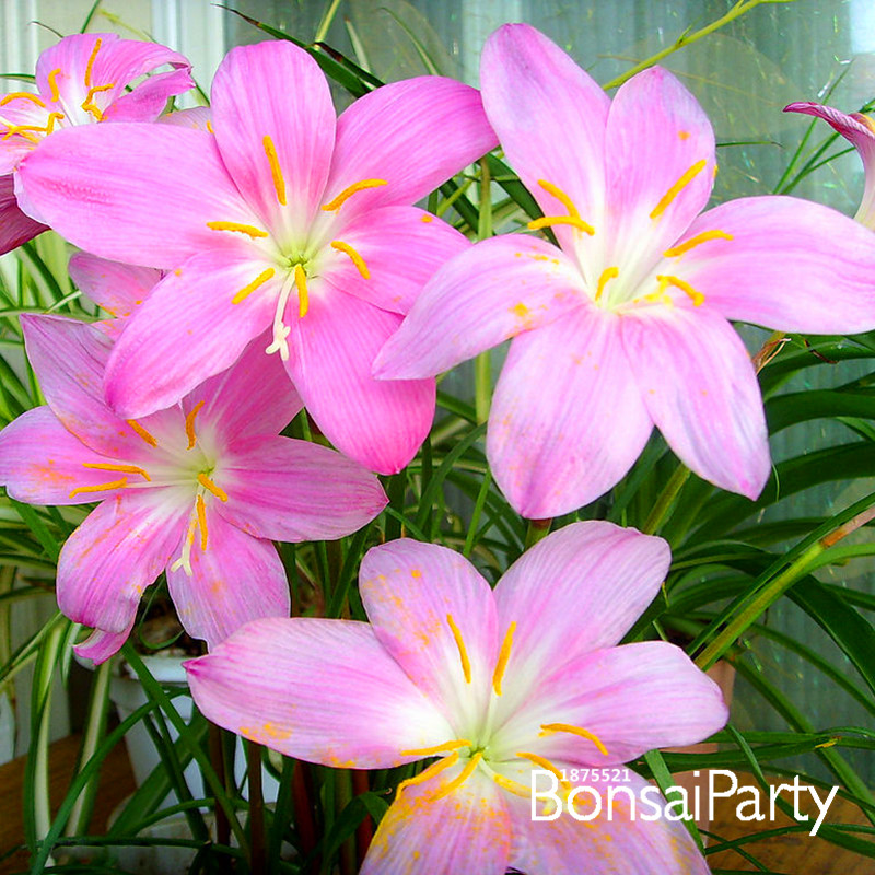 Big promotionpink daffodils seeds beautiful daffodil flower seeds pink daffodils seeds beautiful daffodil flower seeds clean air narcissus seeds flowers for rooms100 seedbage04 in bonsai from home garden on mightylinksfo