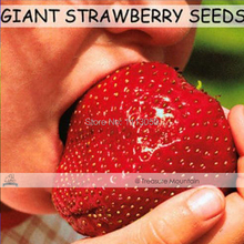 Free shipping 500 Seeds / Pack, Super Giant Strawberry Fruit Seed Apple Sized Home Garden