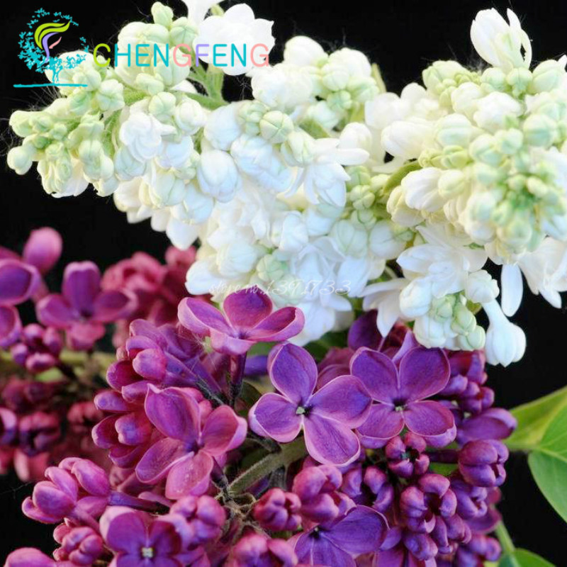 100 Graines Perennial Lilac Tree Seeds Garden Pots Rare Flower Seeds ,  Semillas Bonsai For Tohum Jardin Plants Seed Easy Plant